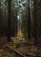 Young deciduous tree in a vacant place in the coniferous forest