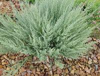 Wermut, Provence, Artemisia gallica