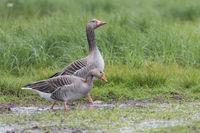 Graugans, Anser anser, Greylag Goose