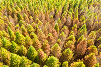 drone view of yellow larch tree