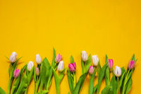 Yellow And Pink Tulip Spring Flowers, Yellow Background