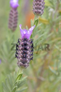 Schopf-Lavendel (Lavandula stoechas)