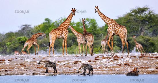 Tüpfelhyänen am Wasserloch, Etosha-Nationalpark, Namibia, (Crocuta crocuta) | spotted hyenas at the waterhole, Etosha National Park, Namibia, (Crocuta crocuta)