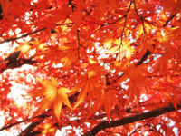 Maple tree red leaves in Autumn. Natural background of acer fall season foliage