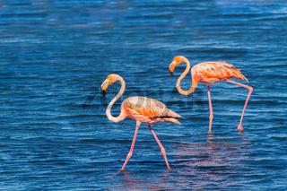 Two red flamingos walk in lake at coast