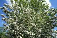 20200506_Crataegus monogyna, Eingriffliger Weißdorn, Common Hawthorn010.jpg