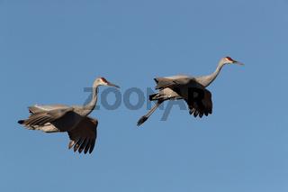 Sandhill Crane Bosque del Apache Wildlife Reserve New Mexico USA
