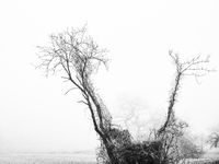Trees and mist in black and white