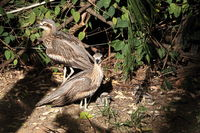bush stone-curlew  (Burhinus grallarius) with chicks  australia