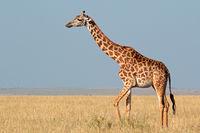 Masai giraffe