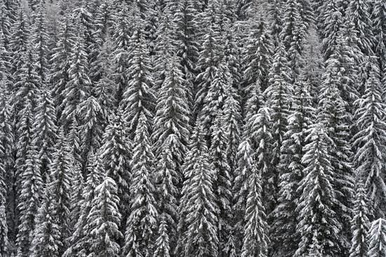 Verschneite Fichten in einem Wald an einem grauen Wintertag, Südtirol, Italien
