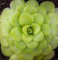 common butterwort closeup