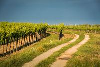 Dirt road in the vineyards