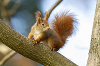Curious red squirrel sitting on tree in autumn nature.