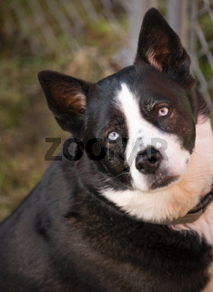 Black and White Dog looks at the camera with light blue eyes