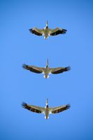 Pelicans flying right above in the blue sky