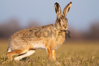 Cute brown hare standing on a field in spring at sunset