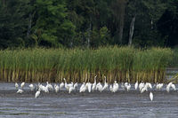 Silberreiher an einem entwaesserten Teich