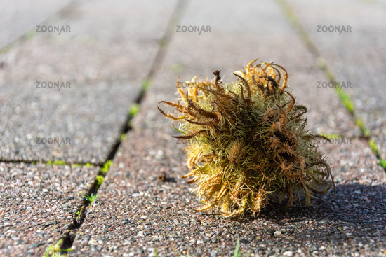Small square of feathery moss discarded on paving