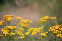 Tansy or Tanacetum Vulgare herbaceous flowering plant of The Aster family