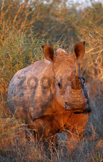Rotes Abendlicht auf jungem Breitmaulnashorn im Kruger Nationalpark, Südafrika, warm evening light on white rhinoceros, South Africa