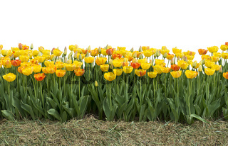 Yellow and red tulips isolated on white