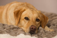 Labrador retriever dog lying on a blanket