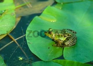 Wasserfrosch auf Seerosenblatt