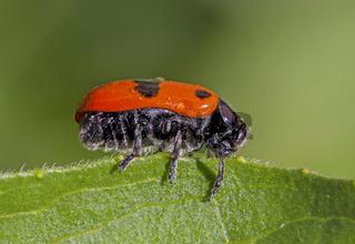 Ameisen-Sackkäfer  'Clytra laeviuscula'
