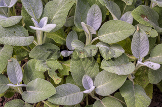 background of green leaves of sage herb damaged by grashoppers