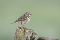 Wiesenpieper, Anthus pratensis, Meadow Pipit