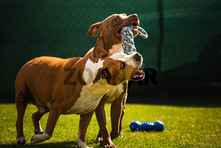 Two dogs amstaff terrier playing tog of war outside. Young and old dog fun in backyard.