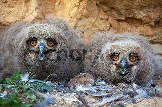 Small eurasian eagle-owl chicks sitting in the nest on the ground in spring