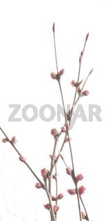 Spring tree pink flowers detail