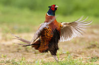 Crazy common pheasant showing off and fluttering wings in courting season