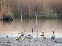 Animal family of geese on a lake