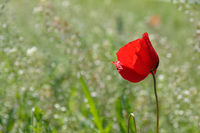 Single vivid red corn poppy growing in a field