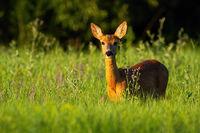 Roe deer doe standing on flower field in summer nature.