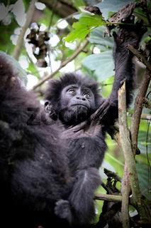 Junger Berggorilla im Bwindi Impenetrable Nationalpark Uganda (Gorilla beringei beringei) | Young Mountain Gorilla at Bwindi Impenetrable National Park Uganda (Gorilla beringei beringei)