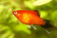 Platy  (Xiphophorus maculatus)