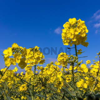 Rapeseed (Brassica napus) flowering in the East Sussex countryside near Birch Grove