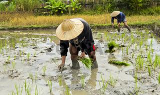 Einheimischer Mann setzt Reispflanzen in einem Reisfeld, Luang Prabang, Laos