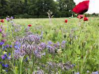 poppy flowering on an insect friendly meadow