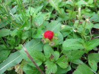 Rote Indische Scheinerdbeere, Potentilla indica, zwischen Unkraut
