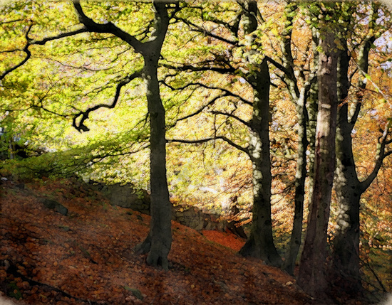hilly sloping beech woodland in early autumn with leaves on the