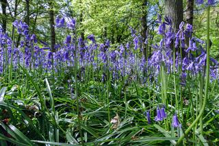 Close-up of Bluebells in Staffhurst Woods