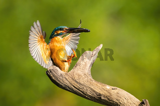 Lovely common kingfisher landing in summer at sunrise