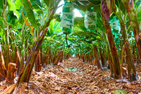 Rows of trees in the banana garden
