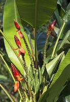 wilde Banane (Beccarii Banana) mit leuchtend rotem, aufrechtstehenden Blütenstand, Malaysia