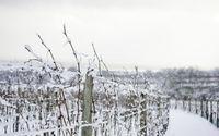 Vineyard in Burgenland in Winter